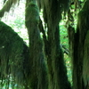 Typical Tree In The Hall Of Mosses