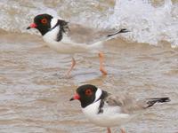Melaleuca al Área Importante para las Aves Birchs entrada