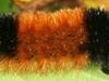 I C  Pyrrharctia Isabella Caterpillar