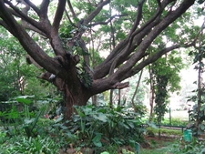 Bugle Rock Park Tree - Bangalore