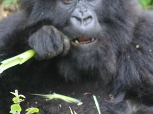 Chimpanzee, Gorilla Habituation and Wildlife Tour - Uganda Photos