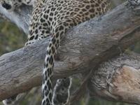 Leopard Trails - Moremi-Khwai