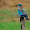 Indian Roller Bird - Sundarbans