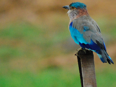 Indian Roller Bird - Sundarbans