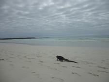 Iguana On The Beach At Tortuga Bay