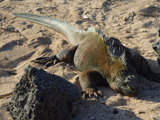 Iguana On The Beach At The Charles Darwin Research Station