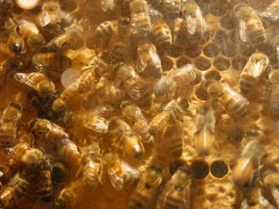 Insectarium Bees