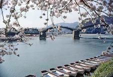 Kintai Bridge At Cherry Blossom Time