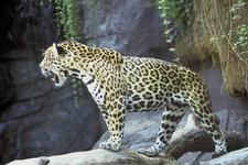 Jaguar In The Amazon Rainforest