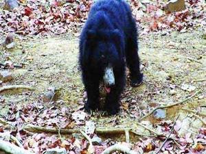 Jessore Preguiça Bear Sanctuary