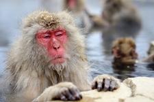 Jigokudani Monkey Park - Nagano