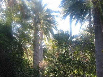 Jubaea Chilensis Ocoa Valley