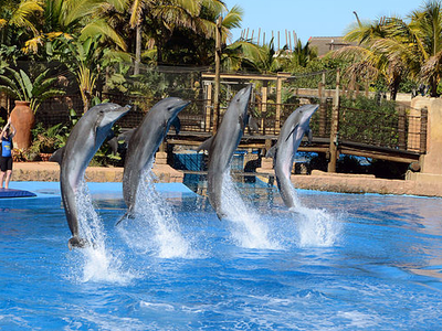 Jumping Dolphins In The Dophin Show