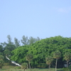 Jupiter Lighthouse And Banyan Tree
