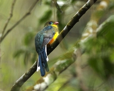 The Javan Trogon