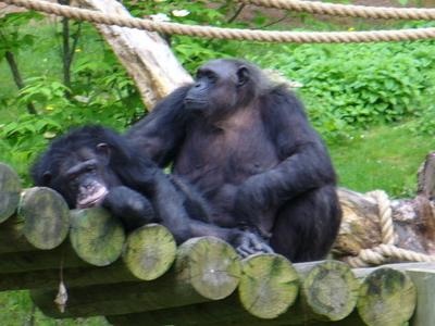 Chimps In The Mokomboso Valley Chimpanzee Exhibit