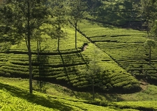 Kandy Tea Plantations