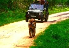 Kanha Tigers- Mesmerizing Experience
