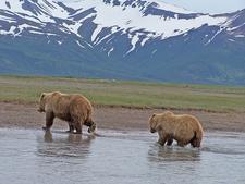 Katmai NP Browfn Bears
