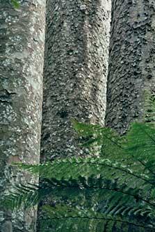 Kauri Trees, Trounson Kauri Park, Northland