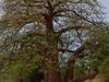 Baobab Tree In Kayes