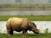 Kazhiranga Rhinoceros Also Found In Orang National Park