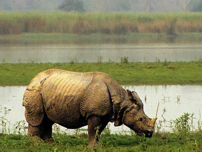 Kazhiranga Rhinoceros Also Found In Orang National Park