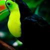 Keel Billed Toucan Woodland In Park