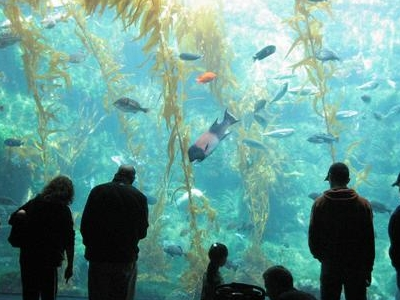 70,000-gallon Kelp Tank - Birch Aquarium