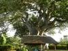 Kenia-Urla-m-Baum