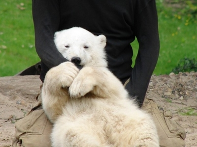 Knut - Berlin Zoological Garden