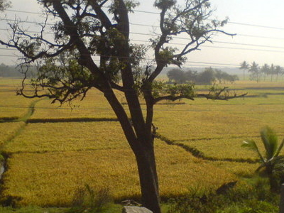 Kollegal Paddy Fields