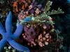 Komodo - Blue Star Fish