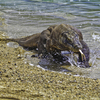 Komodo Dragon In Water