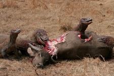 Komodo Dragons Feeding On Wild Buffalo