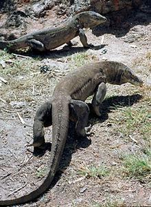 Komodo Dragons - Rinca Island