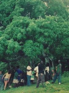 Kindah Tree Of Accompong