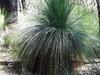 Austral Grass Trees