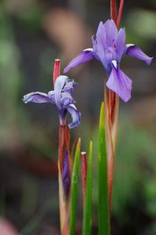 Moraea Callista In Kitulo National Park.