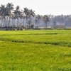 Rice Cultivation In Kole