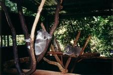 Koalas At Lone Pine Koala Sanctuary