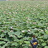 Lotus Plants At The Garden