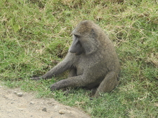 Lake Nakuru National Park Baboon