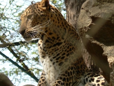 Leopard At Rohtak Zoo
