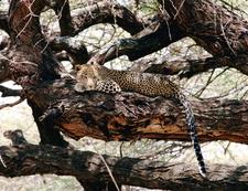 Leopard In Samburu National Reserve