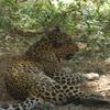 Leopard In Sanjay Gandhi National Park