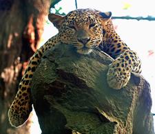 Leopard-Bannerghatta National Park