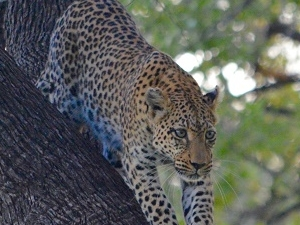 Leopard Trail - 12 Days Safari Fotos