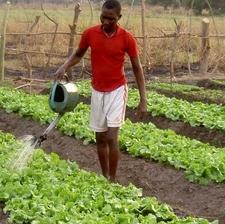 Lettuce Watering
