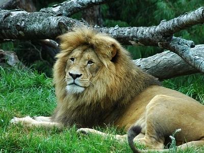 Lion @ Auckland Zoo NZ